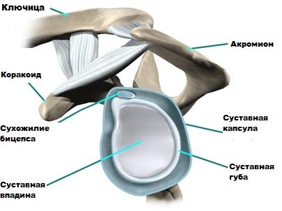 anatomiya-glenoid